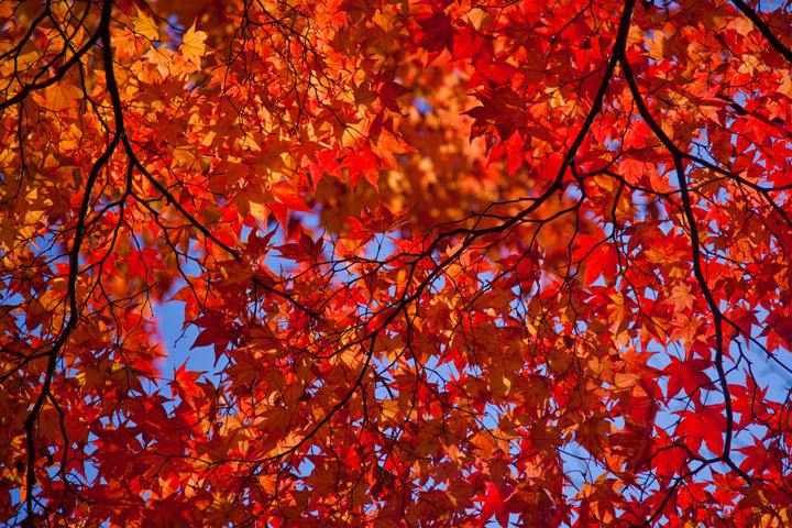 真っ赤な紅葉.jpg
