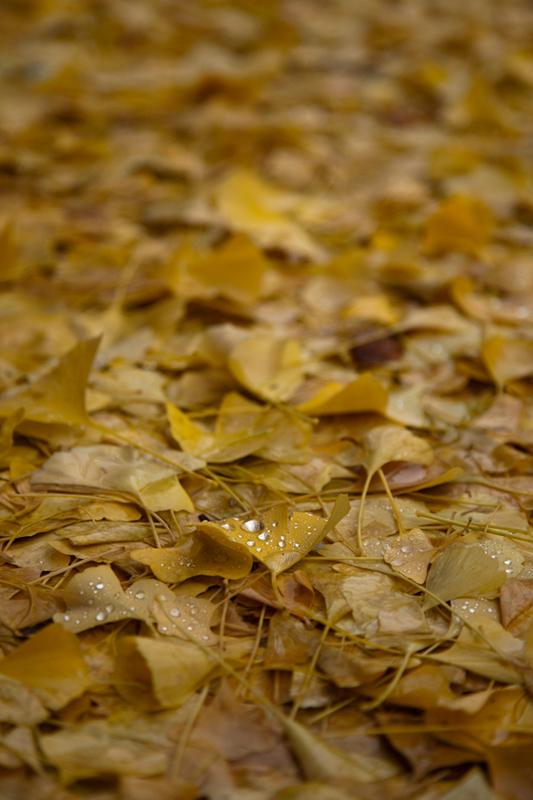 雨しずくと銀杏の落ち葉.jpg
